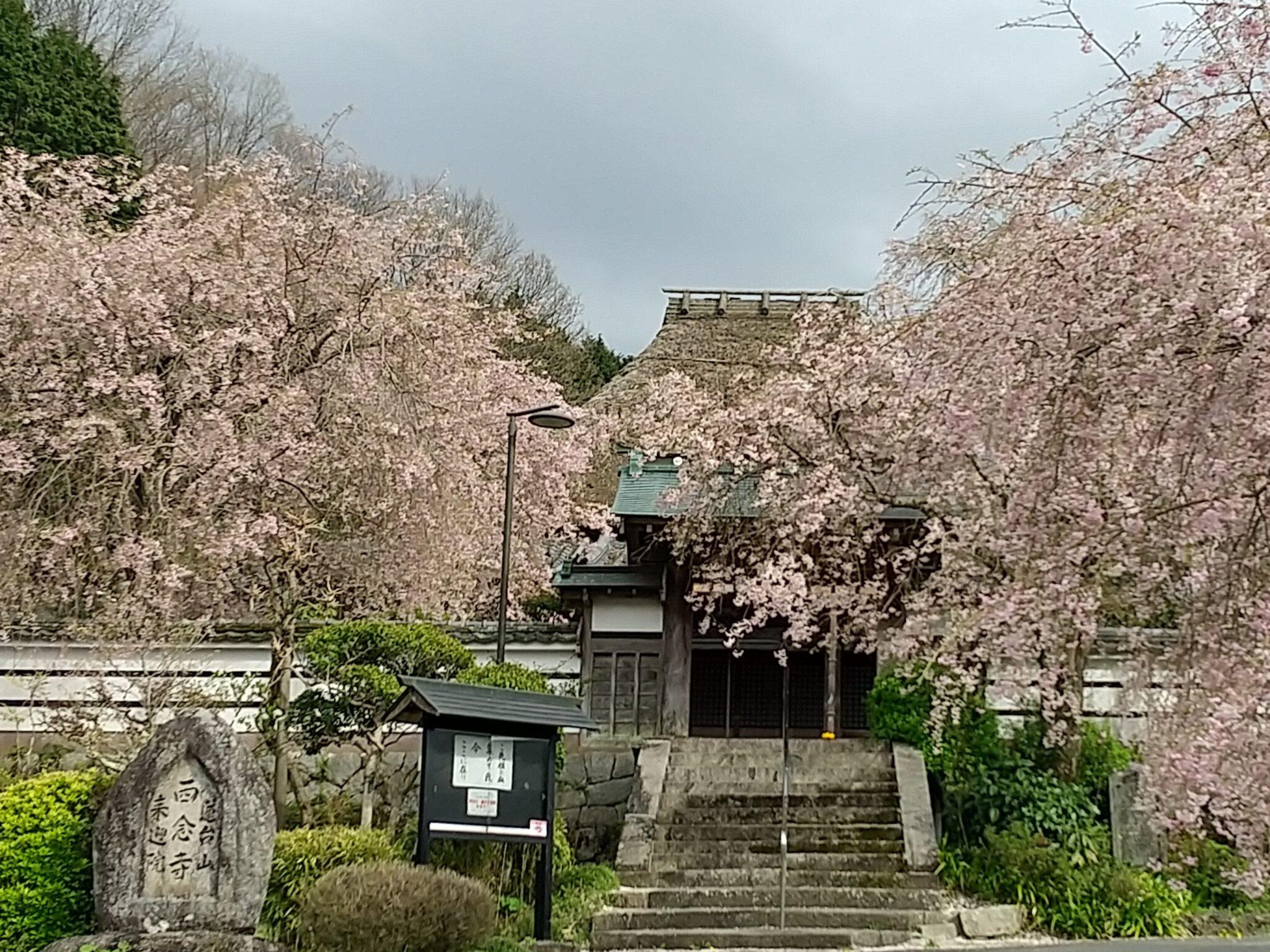 天理 西念寺 枝垂れ桜
